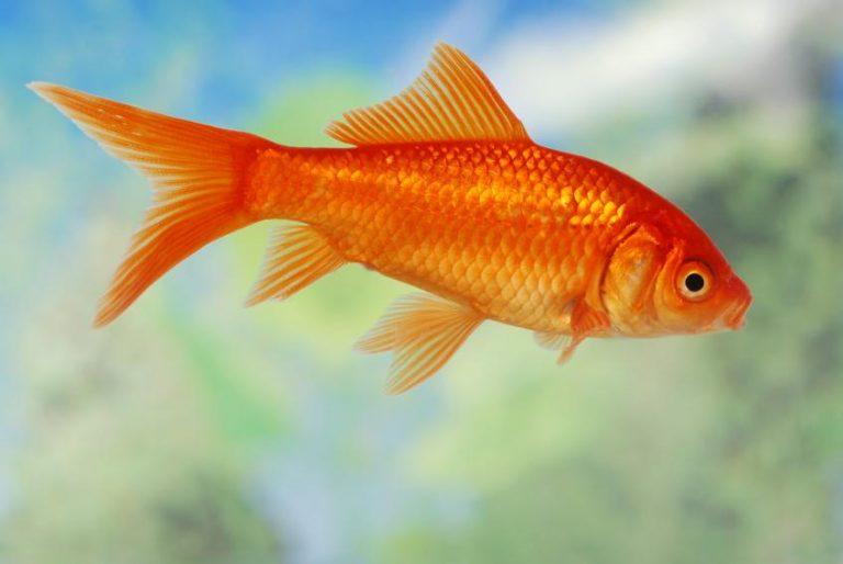 Cá Chép Vàng Là Giống Cá Cảnh Được Các Gia Đình Lựa Chọn Nhiều Nhất Hiện  Nay. Với Đặc Điểm Dễ Nuôi, Màu Sắc Và Hình Dáng Đa Dạng, ...