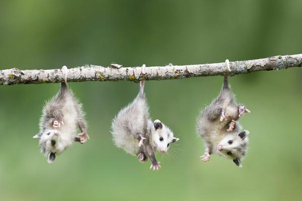 Kết quả hình ảnh cho Chồn Opossum sống ở đâu