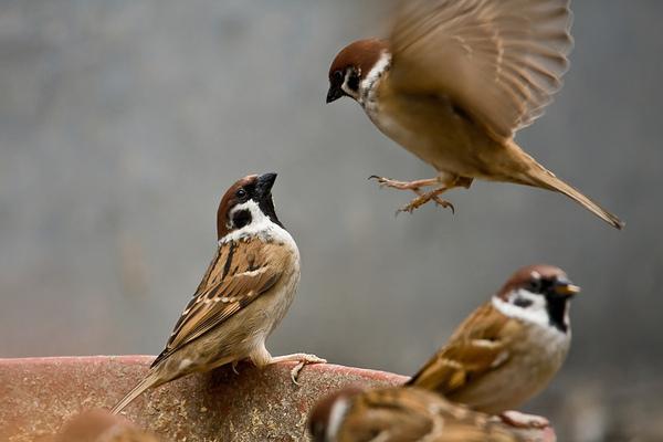Kết quả hình ảnh cho chim sẻ