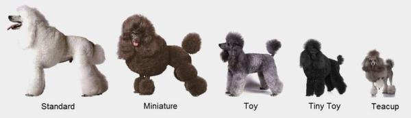 các loại chó poodle
