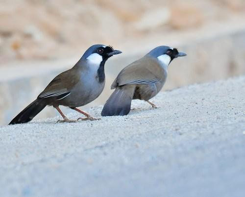 Chim khướu và 10+ thông tin hữu ích cho người tập nuôi