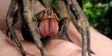 điểm danh 11 loài nhện khổng lồ to nhất thế giới