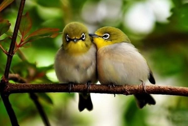chim khuyên