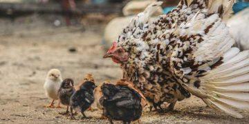 những sự thật thú vị về loài gà